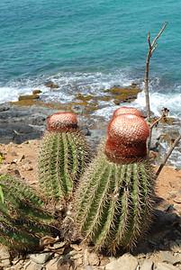 Turk's Head cactus, Antigua