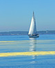 Sail boat on the New Meadows River with yellow trails of White Pine tree pollen on the water