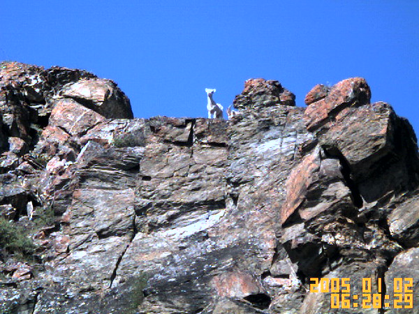 Dall sheep on the rocks