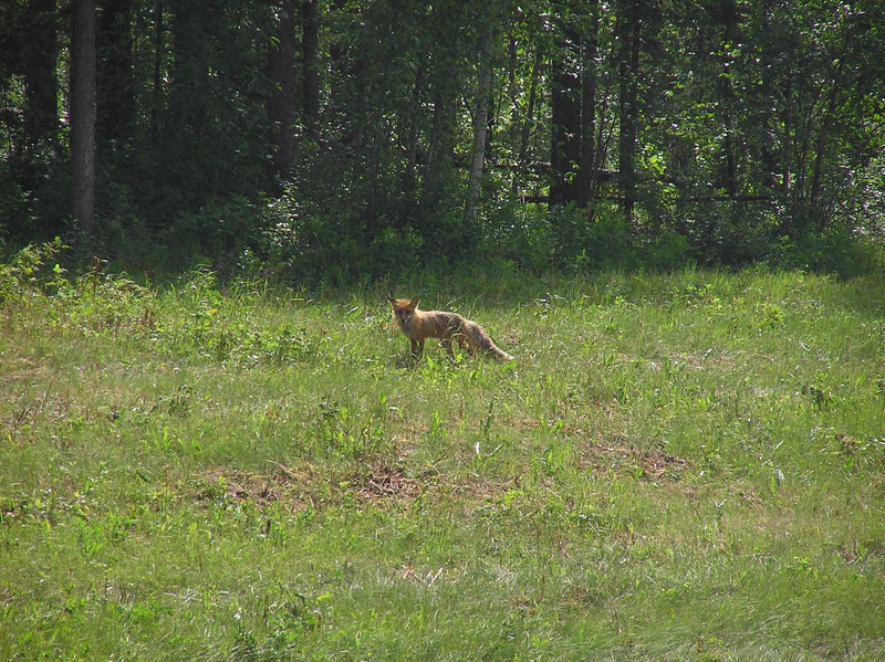 Some of the wildlife seen of the way up included this hunting fox.