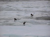the caribou finally decide to get up and move on