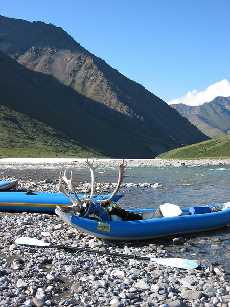 caribou rack found along the river