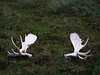 These moose antlers were visible from the air as we flew in, so we had to check them out.