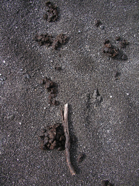 evidence of recent caribou in the area
