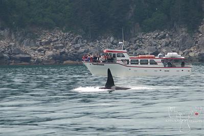 Orca in front of Renown Charters Boat Seward Alaska