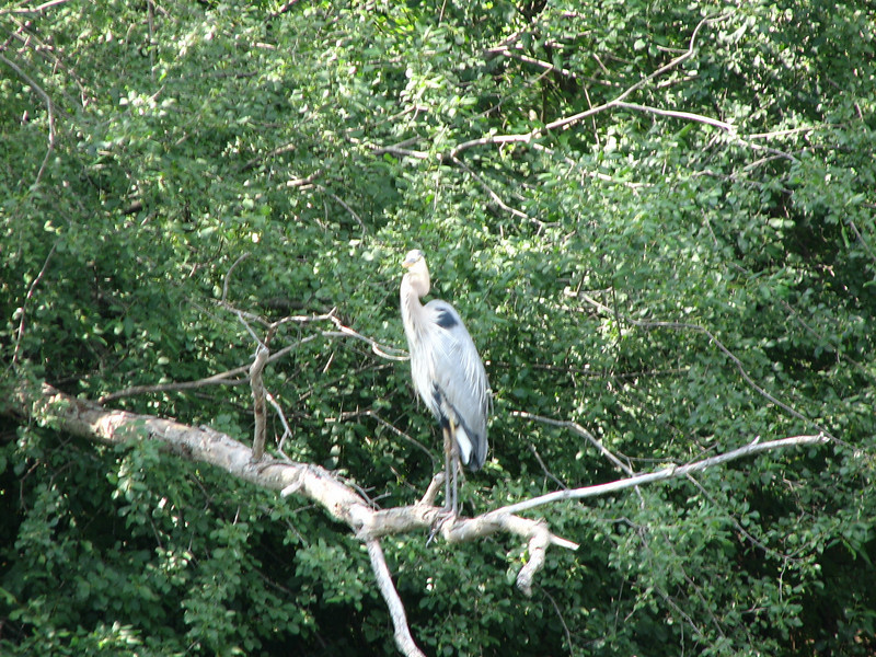 The wildlife is seen everywhere.  A grey heron perches on a limb above the water.