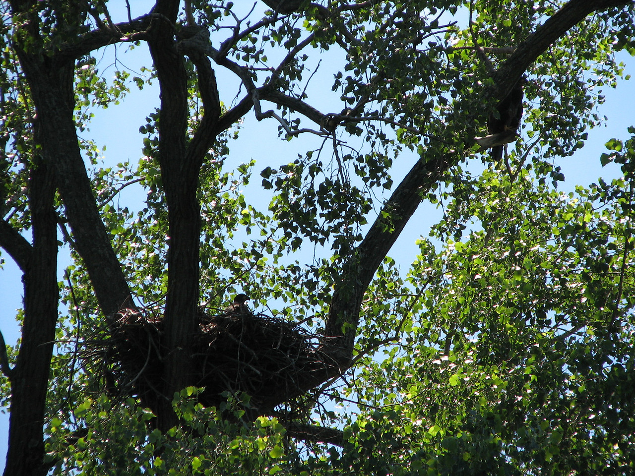 An eagle nest with chicks.  Notice parent eagle perched above and right, keeping an eye on things.