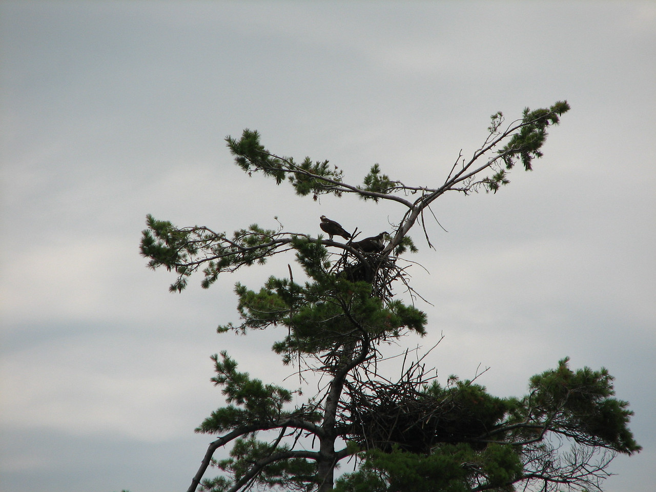 Two osprey are visible on this tree.