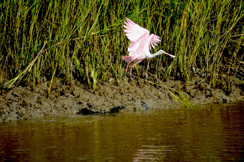 River Cruise on the Capt Gabby of SouthEast Adventure Outfitters on 09/01/13 Roseate Spoonbill