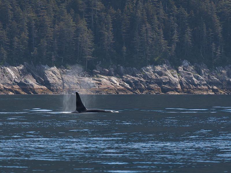 IMG_9595  Bull Orca in Resurrection Bay