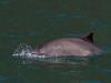 IMG_0827  Harbor Porpoise