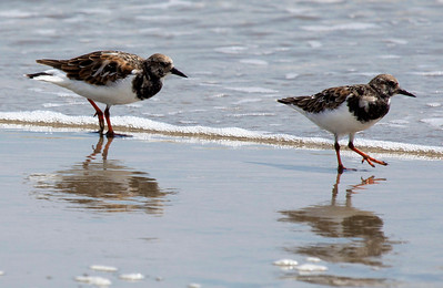 Two Ruddy Turnstones on the beach.