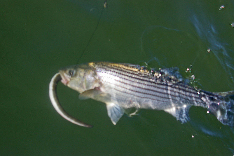 stripped bass caught on live eel.