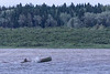 Canoe headed up the Moose River to Moose Factory on a windy evening.
