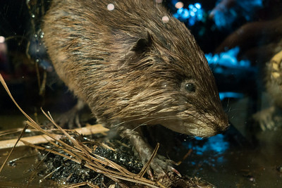 A muskrat in its lodge, at the museum