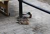 Dossing Ducks Marsden 30th May 2019