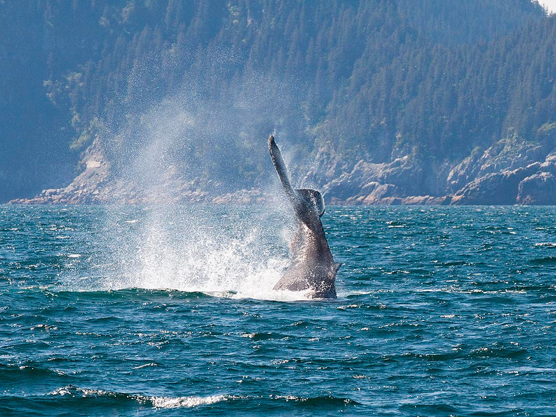 IMG_7668 Near Chat Island, Humpback whale tail slapping.