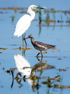 A Willet wading with a Snowy Egret