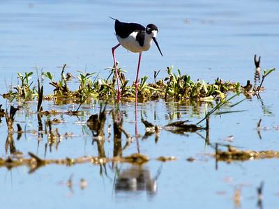 A Black-Necked Stilt in an East Galveston Swamp