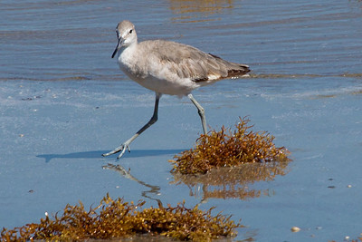 Willet below the Sea Wall