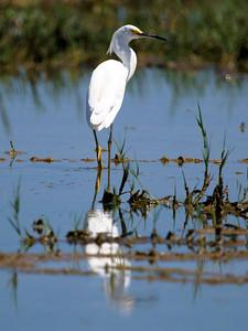 A beautiful Snowy Egret in in an East Galveston wetland