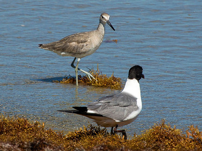 A Willet and a Laughing Gull