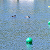 A few Mallard ducks racing to the finish line.
