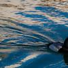 Duck cruising around near the dock.