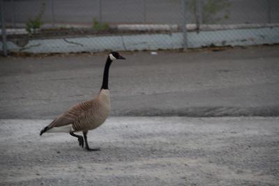 Struttin Goose