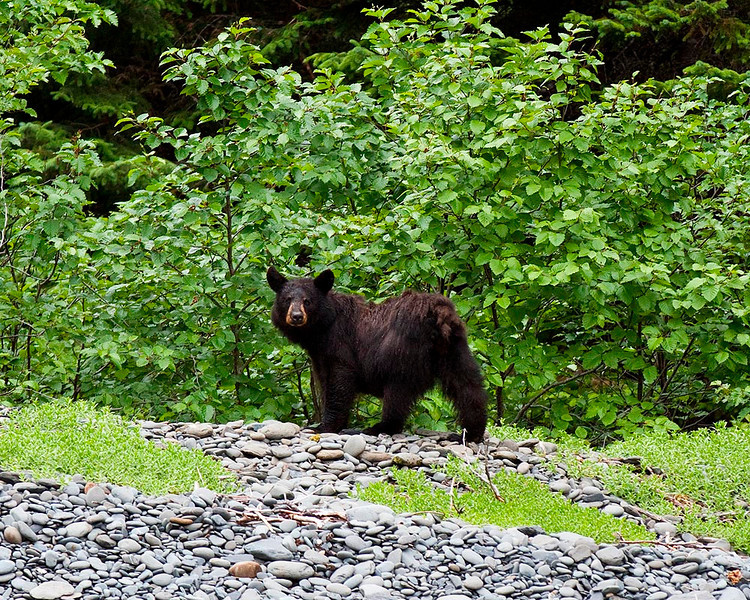 IMG_7801 This black bear foraged along the beach in Paguna Arm.