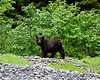 IMG_7801 This black bear foraged along the beach in Paguna Arm.