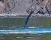 IMG_7937 Harrington Point, a few Humpbacks were doing pectoral slaps and breaching.  We were close enough to smell the whales breath -- not a real pleasant odor.  Quite spectacular to watch.