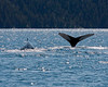 IMG_7848  Humpbacks in McArthur Cove