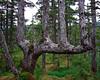 ps_1290 Home Cove, unusual tree.