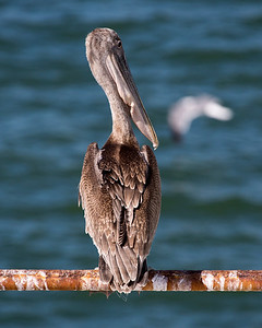 This Brown Pelican poses prettily as we depart.