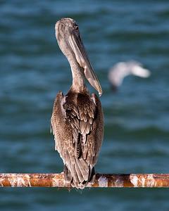 This Brown Pelican poses prettily as we depart.