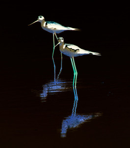 Invert the Black-Necked Stilts coloration and you get -- ta da -- This!