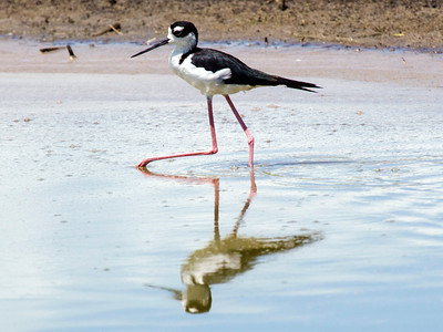 Another pond:  Black-Necked Stilts in this one.  They walk about in shallow water.