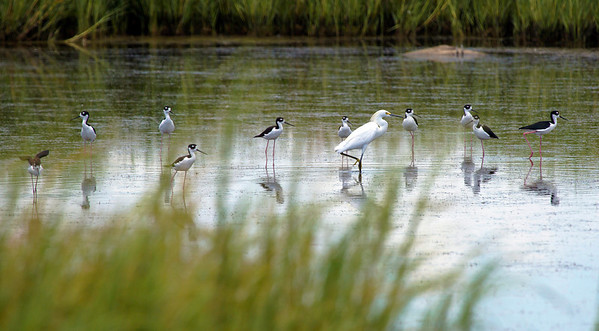 This Snowy Egret appears to be commanding a squad of Black-Necked Stilts.