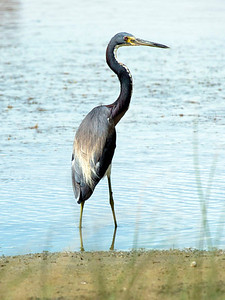 Here's a Little Blue Heron by the swamp.