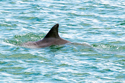 ..  and another lone porpoise.