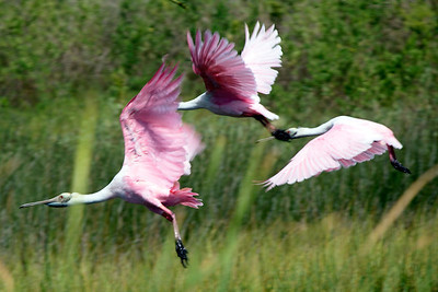 They're dramatic and beautiful in flight ...