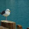 Western Seagull basking in the sun
