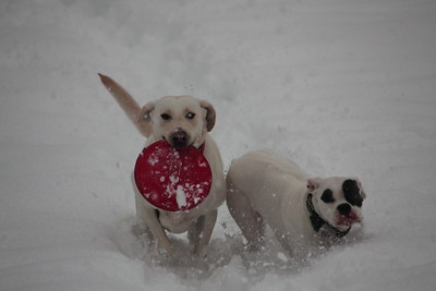 Lillie (lab) and Bianca playing