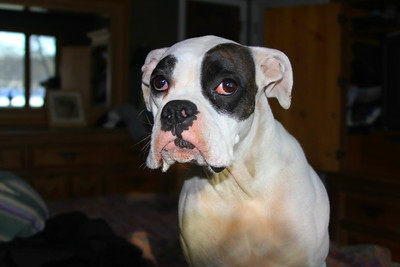 Bianca, my beautiful white boxer in 2010