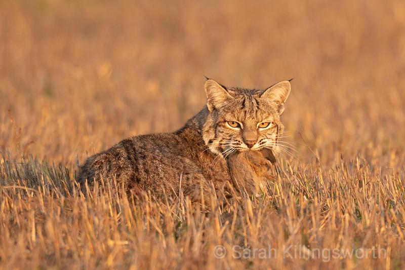 bobcat breakfast