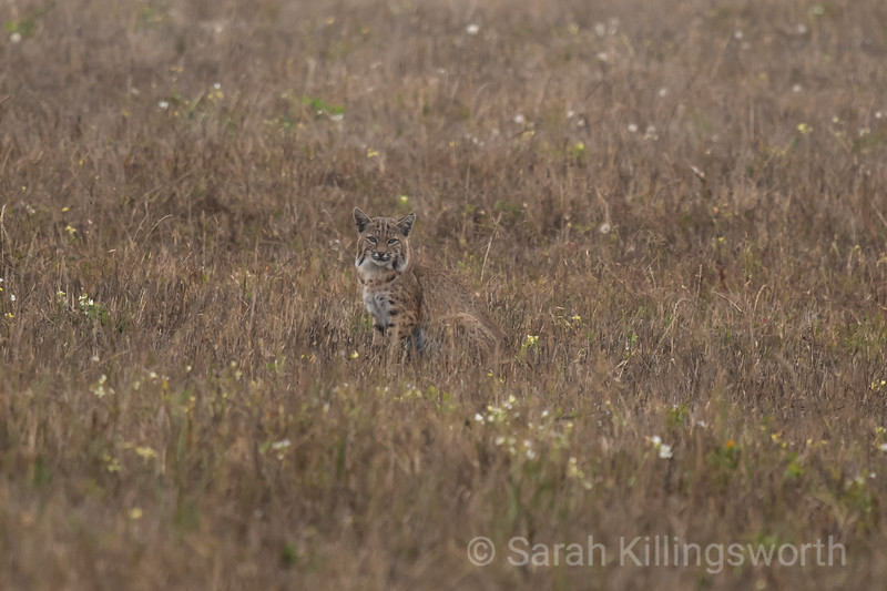 bobcat in summer field