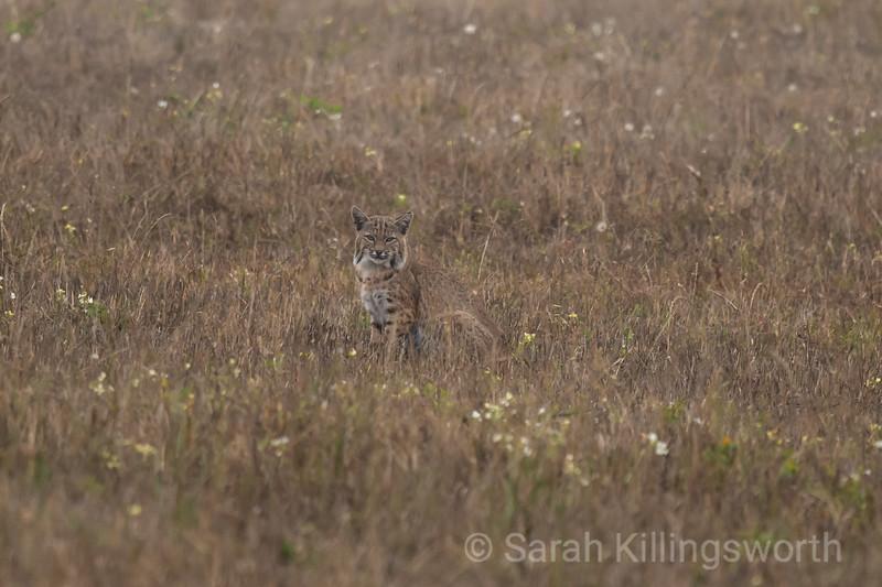 bobcat in summer field