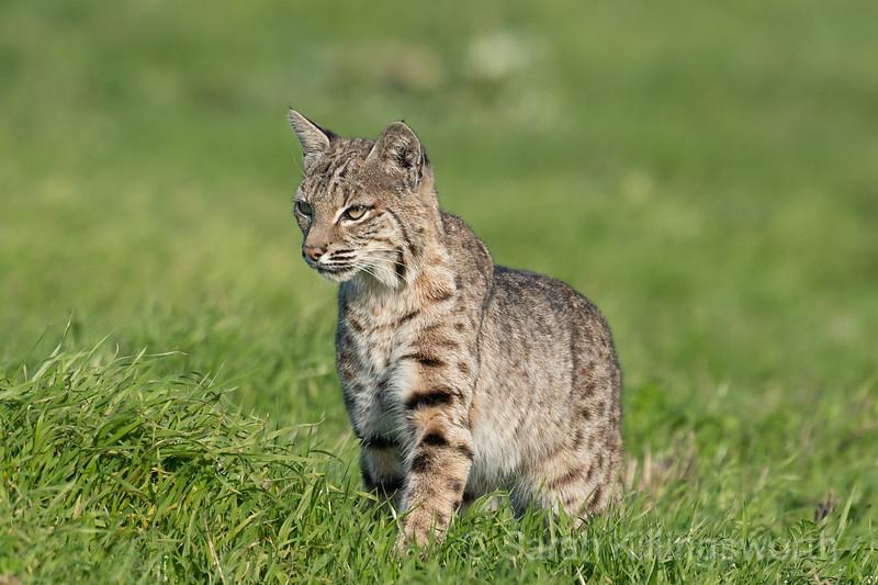 bobcat approach