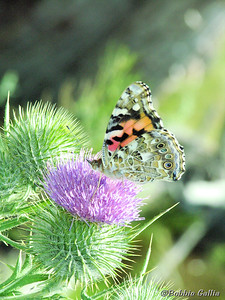 """©Bobbie Gallia; """"Painted Lady on Thistle""""; Lake Bonneville Rest Area on I-84S in Idaho desert, south of Holbrook."""